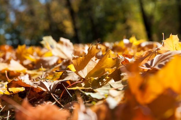 Fogliame di acero nella stagione autunnale durante la caduta delle foglie, acero con foglia arrossamento cambiante da vicino, bellissima natura con un semplice albero di acero