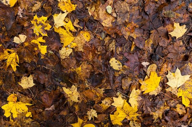Fogliame d'acero in autunno
