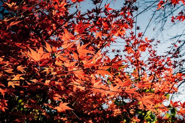 Maple cambia colore a stagionale a novembre e foglia illuminata