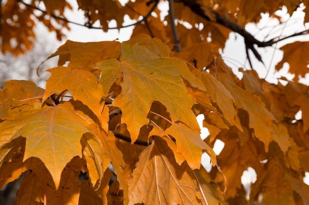 Foglie di acero in autunno sui rami degli alberi. fogliame rigoglioso in ottobre