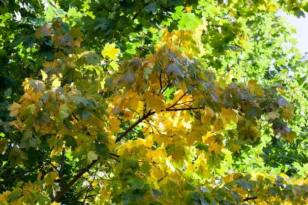 Foglie di acero che cambiano colore prima della caduta delle foglie in autunno, dettagli di alberi