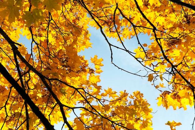 Gli alberi di acero cambiano colore con foglie gialle nella stagione autunnale. posizione nel parco.