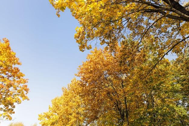 Alberi di acero durante i cambiamenti nella stagione autunnale, la splendida natura e le specificità delle stagioni