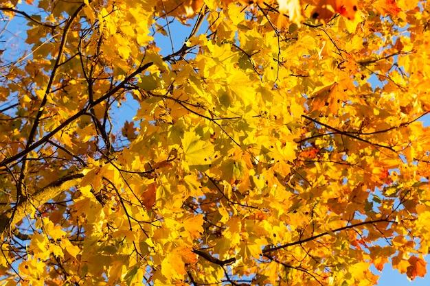 Alberi di acero che crescono nel parco con foglie colorate nella stagione autunnale. primo piano catturato foto durante tempo soleggiato.