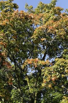 Paesaggio degli alberi di acero