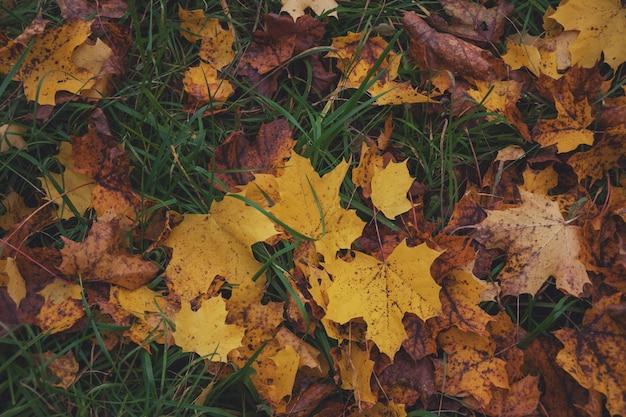 Foglie cadute gialle d'acero in autunno
