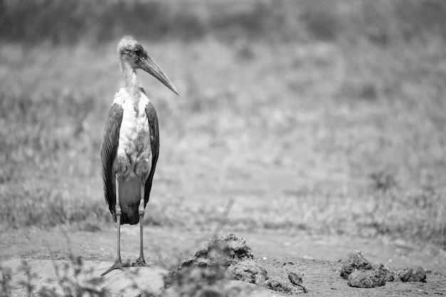 Uccello di marabù nella savana con terra rossa