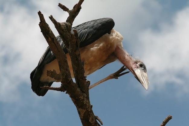Marabou stork guarda in basso, seduto su un ramo di legno secco, serengeti national park, tanzania.