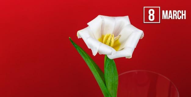 8 marzo sfondo per le vacanze primaverili con fiore di tulipano bianco e data del calendario, macro floreale, dimensione del banner e foto della composizione dello spazio della copia