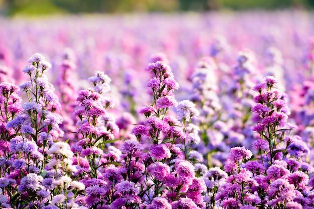 Fiori margaret farm in luce naturale. i fiori stanno fiorendo in giardino