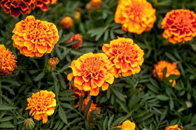 Marigolds fiori luminosi con foglie verdi.