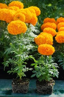 Calendule di colore arancione (tagetes erecta, calendula messicana, calendula azteca, calendula africana), pianta da vaso con radici