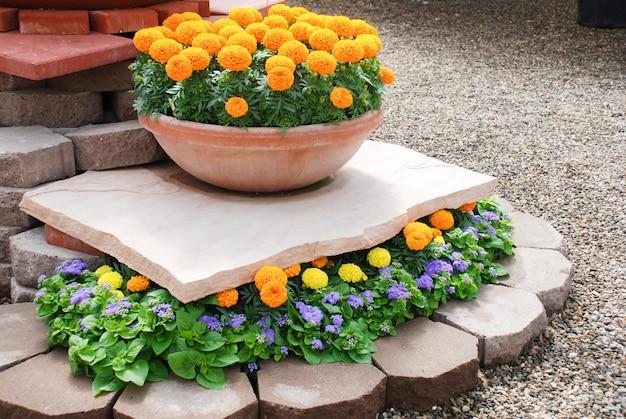 Calendule di colore arancione (tagetes erecta, calendula messicana, calendula azteca, calendula africana), pianta da vaso di calendula