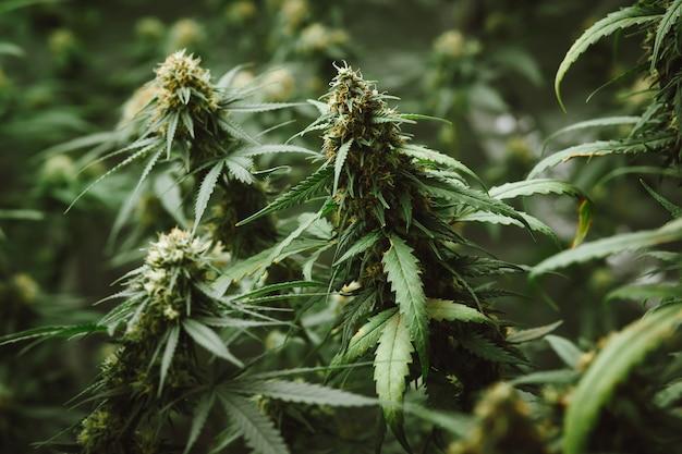 Germoglio di fiore di marijuana