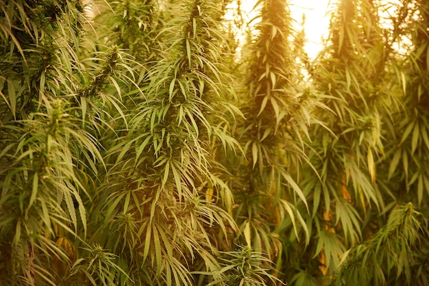 La marijuana lascia le piante di cannabis da vicino sullo sfondo della fattoria