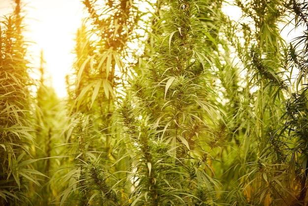 La marijuana lascia le piante di cannabis sullo sfondo della fattoria al tramonto