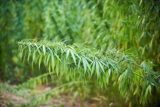 La marijuana lascia le piante di cannabis sullo sfondo della fattoria