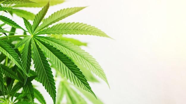 Foglie di marijuana, cannabis su sfondo bianco, bellissimo sfondo, coltivazione indoor. con copia spazio.