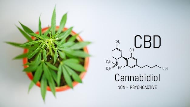 Foglie di marijuana con struttura chimica cbd, formula cannabis cbd