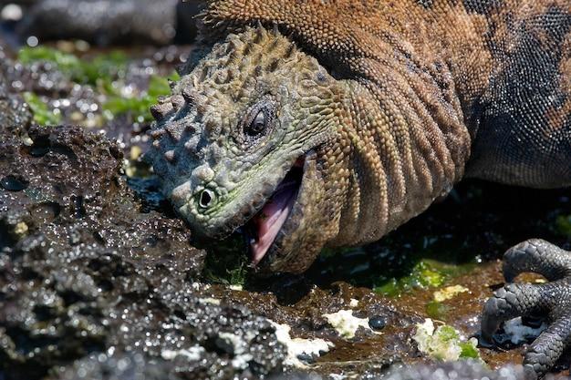L'iguana marina sta mangiando alghe sulla riva