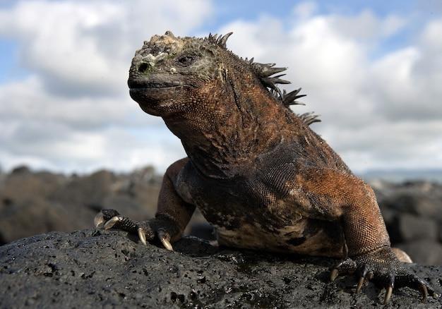 L'iguana marina è seduta sulle rocce