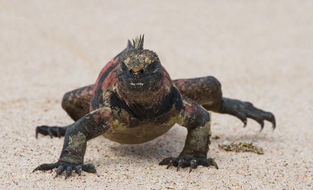 L'iguana marina è seduta sulla sabbia bianca