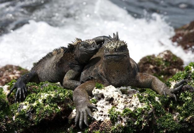 Le iguane marine sono sedute sugli scogli sullo sfondo del mare