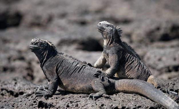 Iguane marine che si siedono sugli scogli