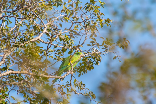 Maritaca, una bellissima maritaca che sfrutta i rami di un albero di jabuticaba per riposare, messa a fuoco selettiva.