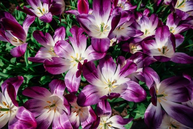 Meravigliosi fiori di tulipano nel parco keukenhof.