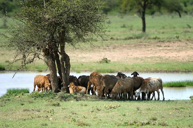 Pastore masai ad amboseli, parco nazionale del kenya