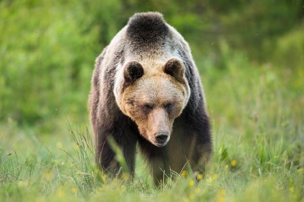 Orso bruno massiccio che cammina sul prato in natura estiva summer Foto Premium