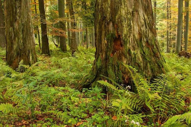 Massiccio vecchio albero in decomposizione in una foresta primordiale nella natura autunnale