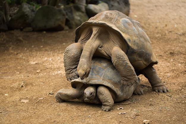 Accoppiamento tartarughe allo zoo da vicino i dettagli Foto Premium