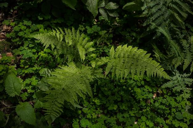 Lo struthiopteris di matteuccia che cresce nella foresta bush