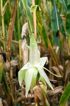 Campo agricolo del raccolto di mais maturo dove i raccolti hanno raccolto l'ingiallimento del mais maturo