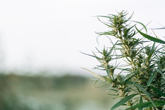 Pianta di marijuana matura con germoglio e foglie. texture di piante di marijuana in una fattoria di cannabis all'aperto. concetto di medicina alternativa a base di erbe, olio di cbd, industria farmaceutica.