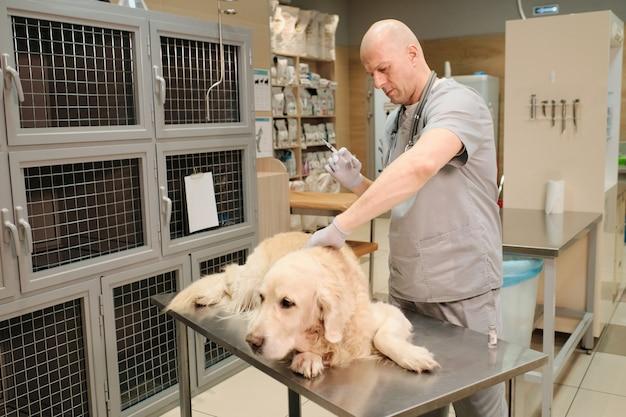 Veterinario maturo che fa una vaccinazione al cane di razza sdraiato sul tavolo nella clinica veterinaria