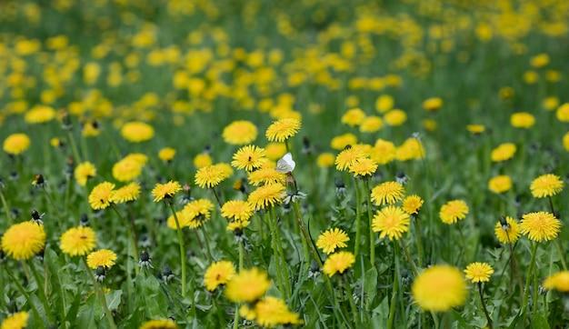 Fiori di tarassaco prato, sullo sfondo della natura