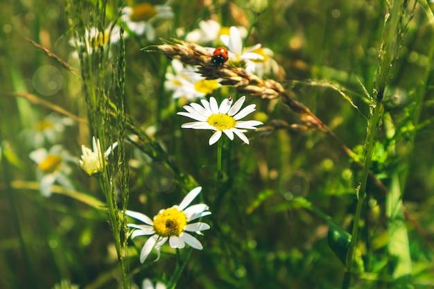 Prato, campo con margherite ed erba verde, sfondo estivo