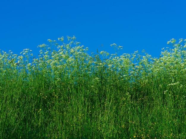 Erba di prato con sfondo bianco cielo sereno