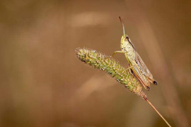 Meadow grasshopper, chorthippus parallelus, in piedi su un filo d'erba