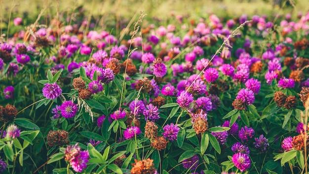 Prato di fiori di trifoglio rosa in una giornata di sole. messa a fuoco selettiva.