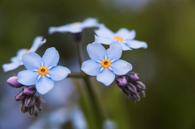 Priorità bassa della pianta di prato, piccoli fiori blu