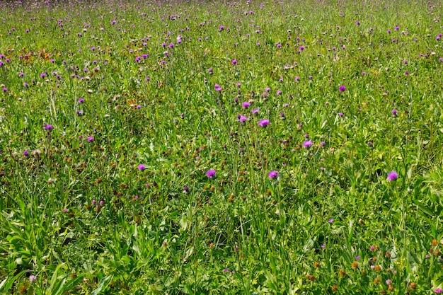 Prato dei fiori di cardo selvatico viola