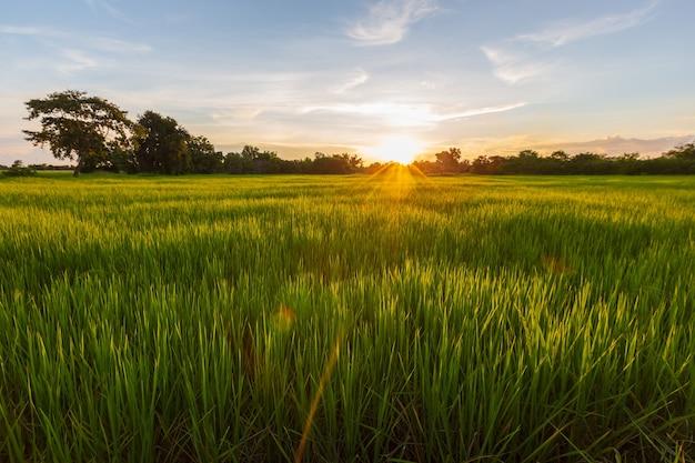Prato di riso all'alba o al tramonto, seconda fase della fioritura della pianta del riso