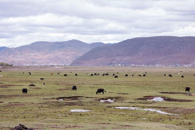 Yak selvatico della steppa del prato che circonda da tempo nuvoloso della montagna, shangri la, provincia dello yunnan, cina