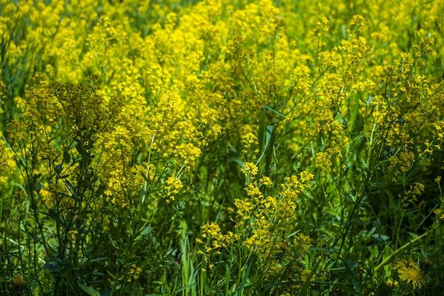 Prato con fiori di campo gialli in una giornata di sole. fiori di primavera. mood heat estate in campagna