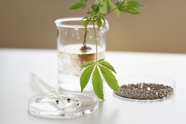 Laboratorio medico con talee di piante di cannabis radicate e semi di cbd