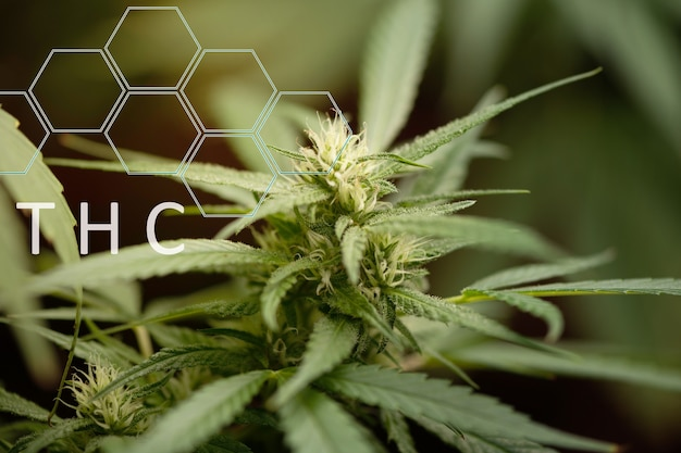 Marijuana medica. sfondo di foglie di cannabis. una grande quantità di marijuana. coltivare cannabis indoor.